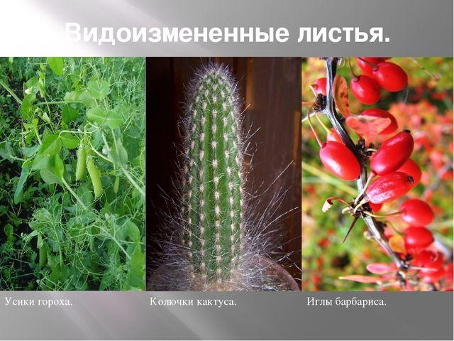 Видоизмененные листья. Усики гороха. Колючки кактуса. Иглы барбариса.
