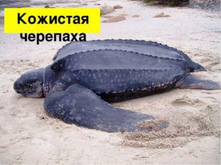 Кожистая черепаха