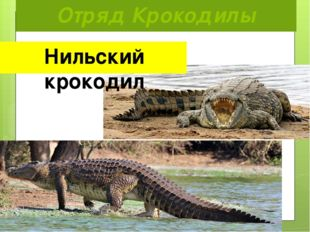 Отряд Крокодилы Нильский крокодил