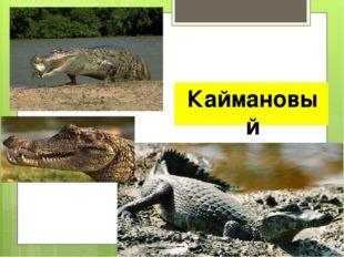 Каймановый аллигатор
