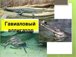 Гавиаловый аллигатор