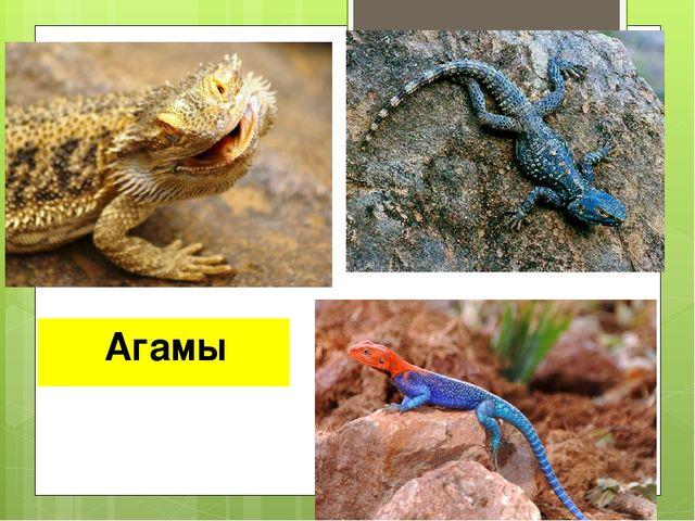 Агамы