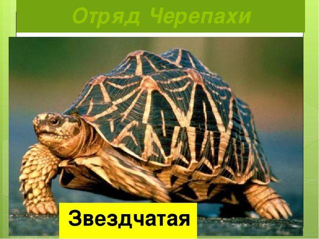 Отряд Черепахи Звездчатая черепаха