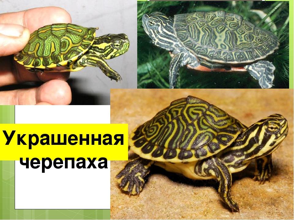 Украшенная черепаха