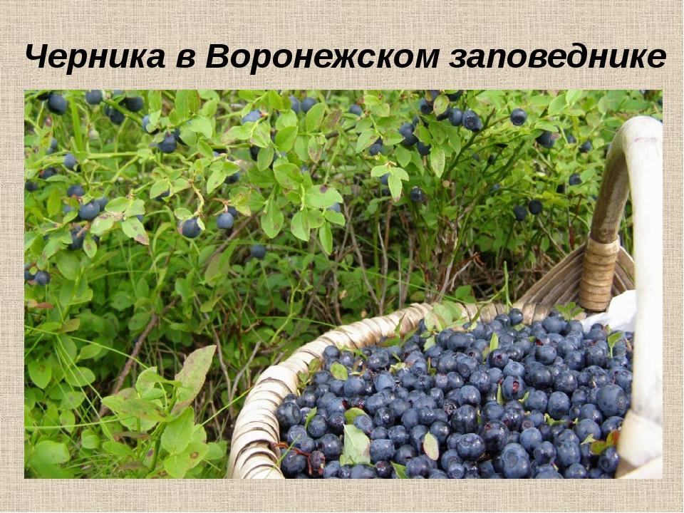 Черника в Воронежском заповеднике