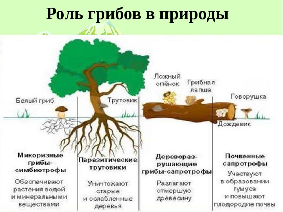 Роль грибов в природы