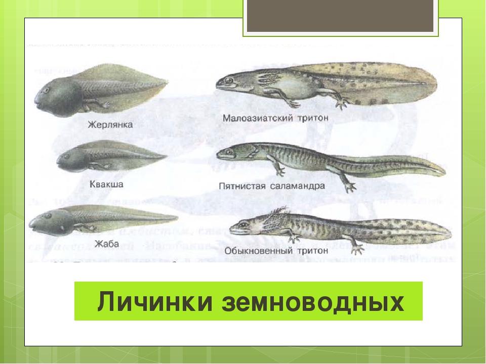 Личинки земноводных
