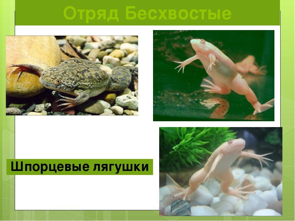 Отряд Бесхвостые Шпорцевые лягушки