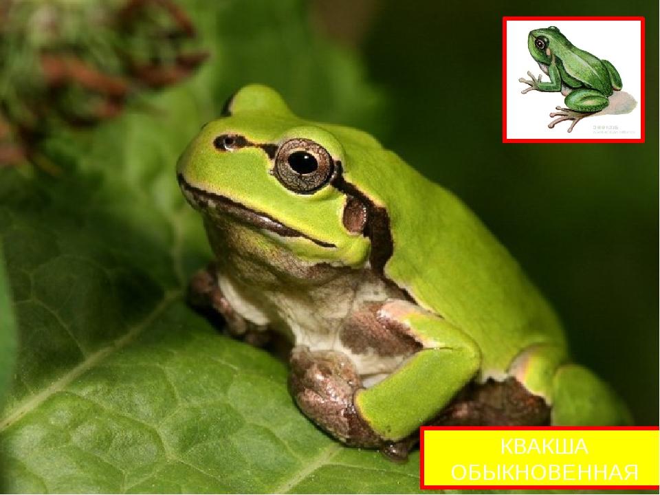 Квакши небольшие лягушки с максимальной длиной тела 53 мм (в Европе до 60 мм...