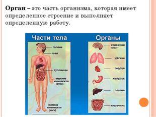 Орган – это часть организма, которая имеет определенное строение и выполняет
