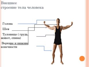 Внешнее строение тела человека Голова Шея Туловище ( грудь, живот, спина) Вер