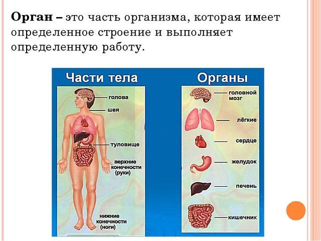 Орган – это часть организма, которая имеет определенное строение и выполняет...