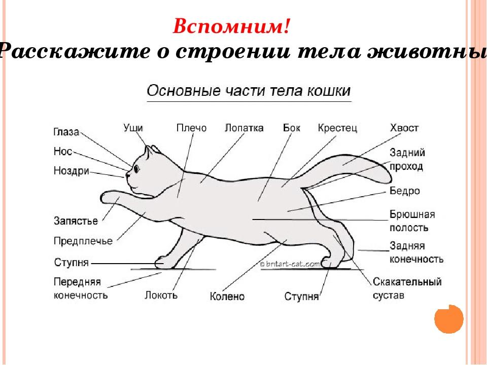 Расскажите о строении тела животных.