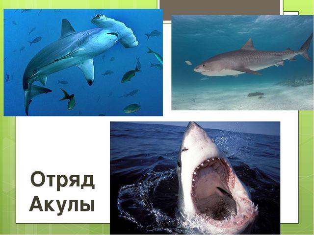 Отряд Акулы