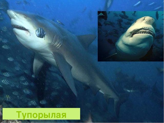 Тупорылая акула