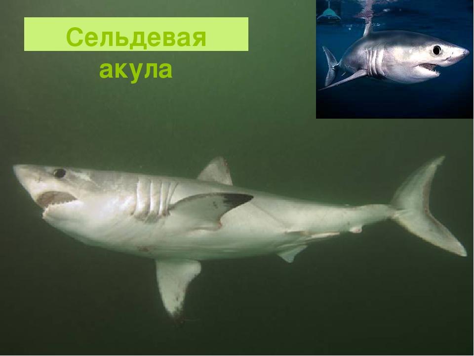 Сельдевая акула