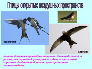 Крылья длинные серповидно загнутые. Клюв небольшой, а разрез рта огромный, уг