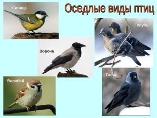 Воробей Ворона Галка Синица Голубь