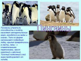 Пингвины утратили способность к полёту, населяют антарктические моря, гнездят