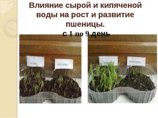 Влияние сырой и кипяченой воды на рост и развитие пшеницы. с 1 по 9 день