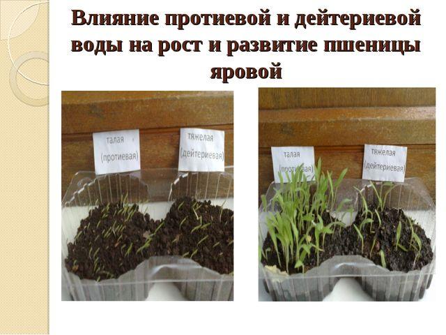 Влияние протиевой и дейтериевой воды на рост и развитие пшеницы яровой