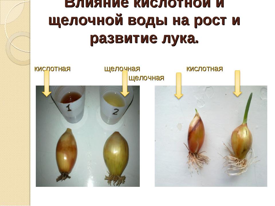Влияние кислотной и щелочной воды на рост и развитие лука. кислотная щелочна...