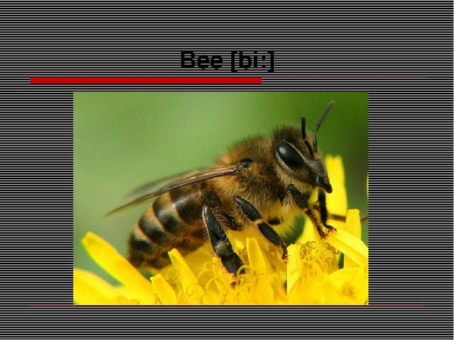Bee [bi:]