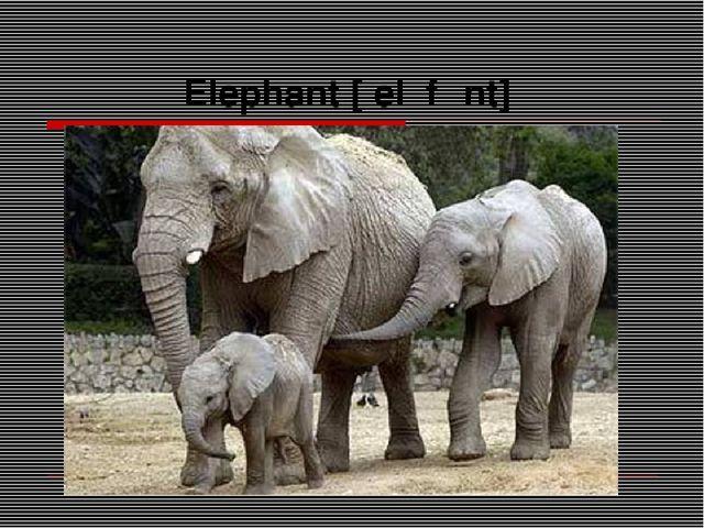Elephant [ˈelɪfənt]