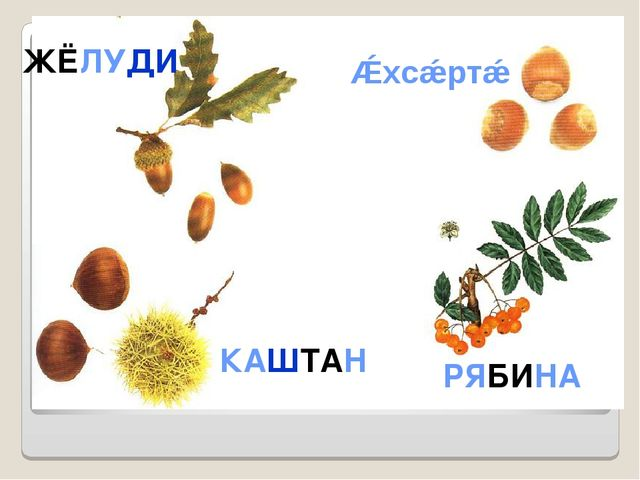 КАШТАН ЖЁЛУДИ Ǽхсǽртǽ