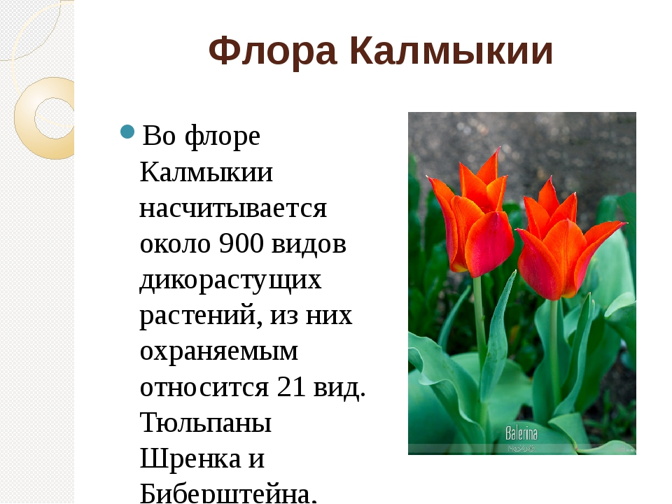 Флора Калмыкии Во флоре Калмыкии насчитывается около 900 видов дикорастущих р...