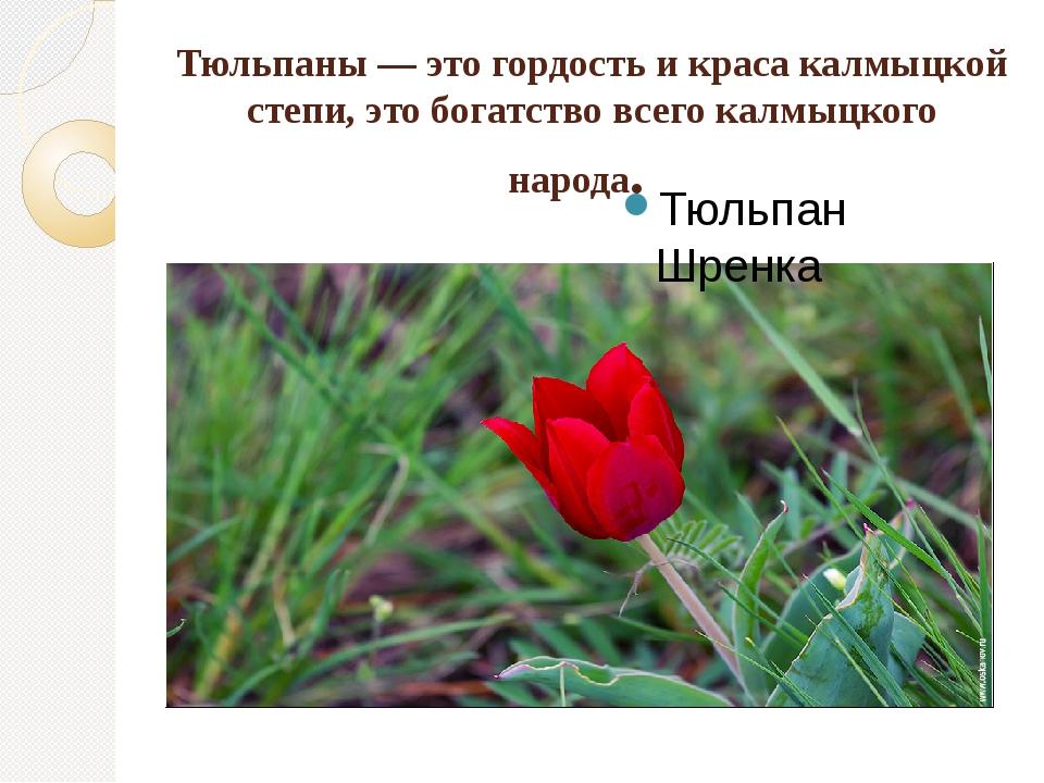 Тюльпаны — это гордость и краса калмыцкой степи, это богатство всего калмыцко...