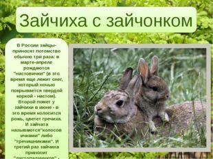 В России зайцы-приносят потомство обычно три раза: в марте-апреле рождаются