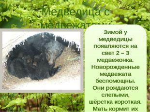 Медведица с медвежатами Зимой у медведицы появляются на свет 2 – 3 медвежонка