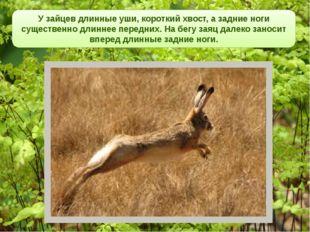 У зайцев длинные уши, короткий хвост, а задние ноги существенно длиннее пере