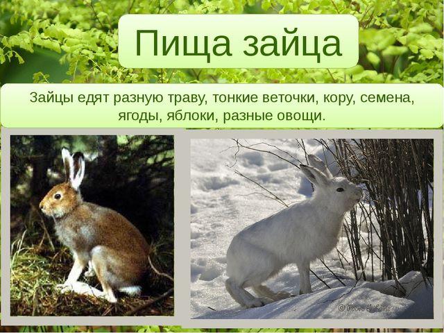 Пища зайца Зайцы едят разную траву, тонкие веточки, кору, семена, ягоды, ябл...