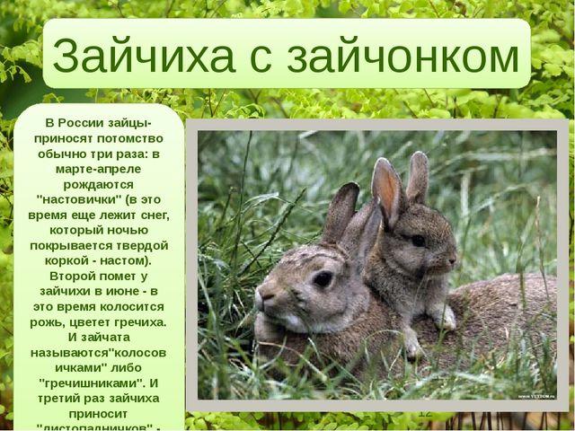 В России зайцы-приносят потомство обычно три раза: в марте-апреле рождаются...
