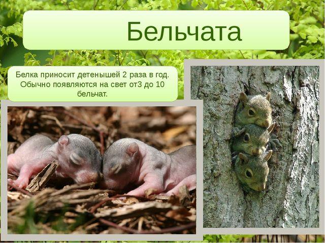 Бельчата Белка приносит детенышей 2 раза в год. Обычно появляются на свет от...