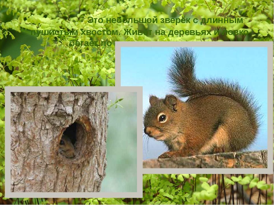 Это небольшой зверёк с длинным пушистым хвостом. Живёт на деревьях и ловко б...