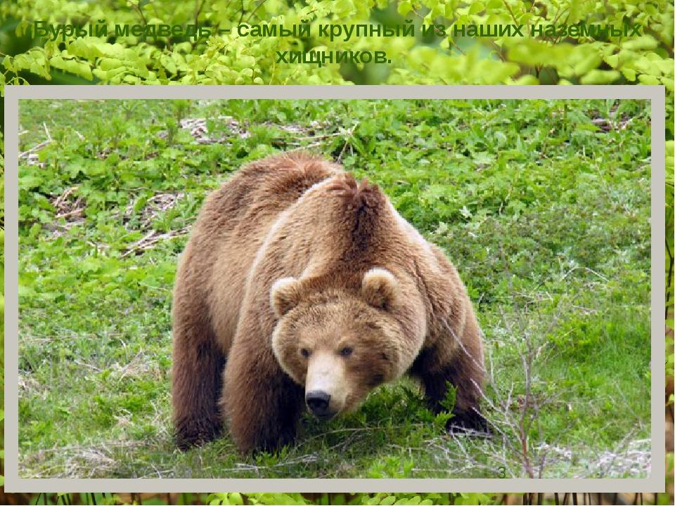 Бурый медведь – самый крупный из наших наземных хищников.