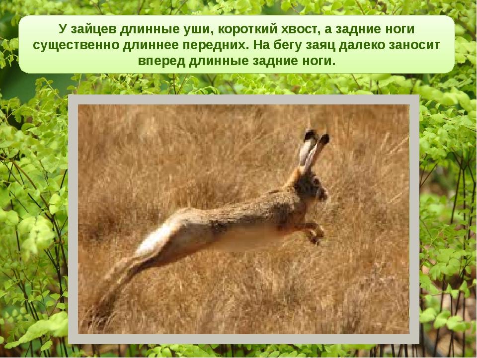 У зайцев длинные уши, короткий хвост, а задние ноги существенно длиннее пере...