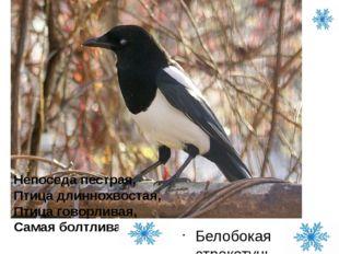 Белобокая стрекотунья и воровка Непоседа пестрая, Птица длиннохвостая, Птица