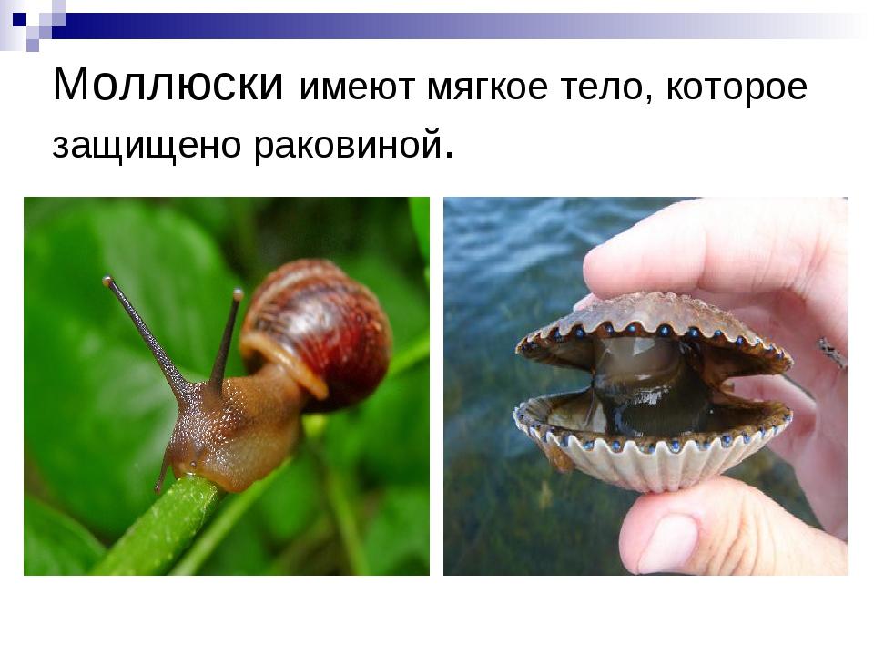 Моллюски имеют мягкое тело, которое защищено раковиной.