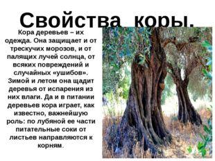 Свойства коры. Кора деревьев – их одежда. Она защищает и от трескучих морозов