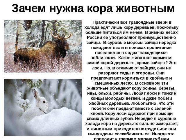 Зачем нужна кора животным Практически все травоядные звери в холода едят лишь...