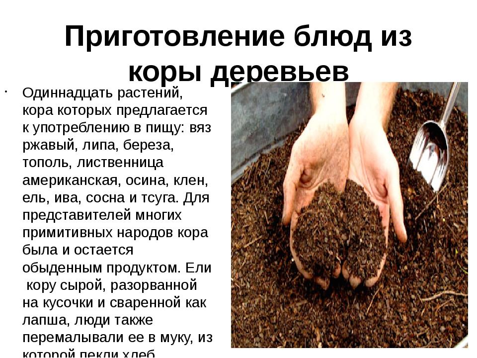 Приготовление блюд из коры деревьев Одиннадцать растений, кора которых предла...
