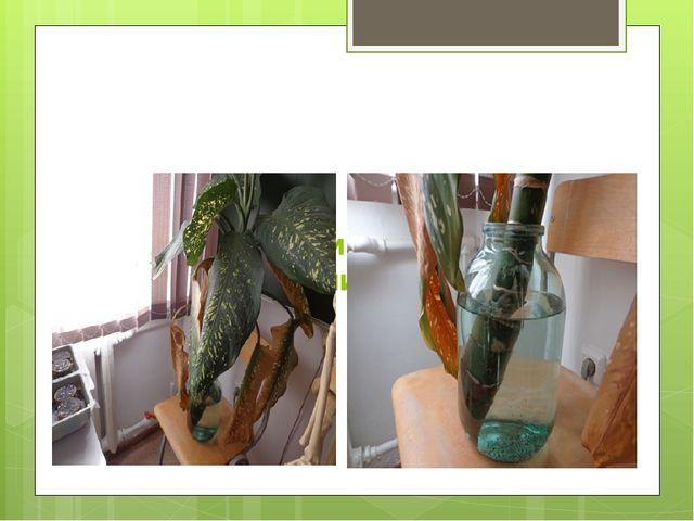 На верхней части оставленного ствола в банке нижние листья стали желтеть: