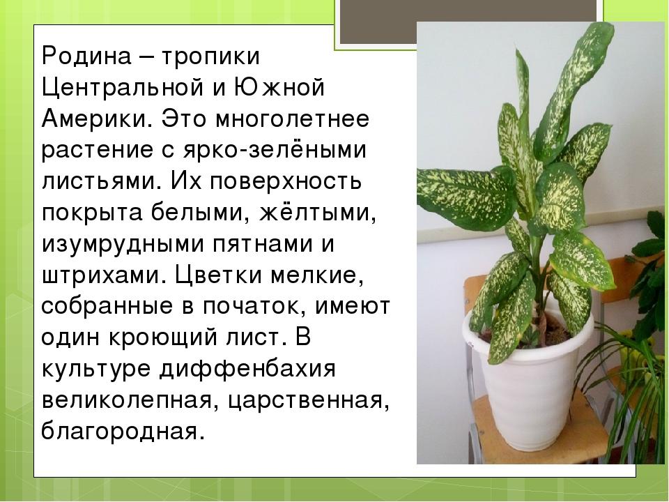 Родина – тропики Центральной и Южной Америки. Это многолетнее растение с ярко...