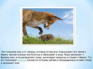 Нет спасения ежу и от лисицы, которая осторожно подкатывает его лапой к бере