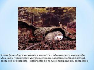 К зиме (в октябре) ежи жиреют и впадают в. глубокую спячку, находя себе убежи