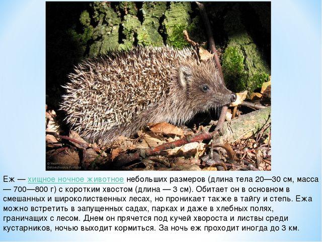 Еж — хищное ночное животное небольших размеров (длина тела 20—30 см, масса —...